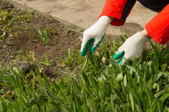 Woman wearing gardening gloves holding a rake and shovel, caring for plants in the garden Stock Photos