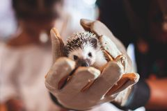 Woman wearing glove holding with small Hedgehog porcupine royalty free stock image