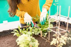Woman Wearing Gloves While Trimming Plant. Midsection of female gardener working in urban organic garden royalty free stock photos