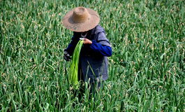 Pengzhou, China: Woman Cutting Garlic Greens Royalty Free Stock Images