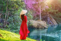 Woman wearing Vietnam culture traditional in cherry blossom park royalty free stock photography