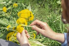 Woman weaves a wreath of dandelions Nature stock image