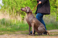 Woman with a Weimaraner dog at the leash Stock Photography