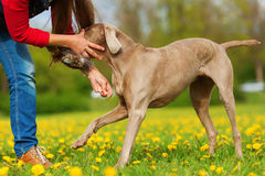 Woman with a Weimaraner dog in the meadow Stock Images