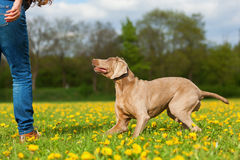 Woman with a Weimaraner dog in the meadow Royalty Free Stock Photo