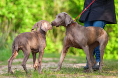 Woman with a Weimaraner dog who plays with a puppy Royalty Free Stock Photography