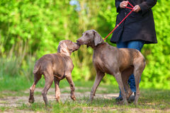 Woman with a Weimaraner dog who plays with a puppy Royalty Free Stock Images