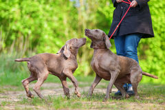 Woman with a Weimaraner dog who plays with a puppy Royalty Free Stock Photos