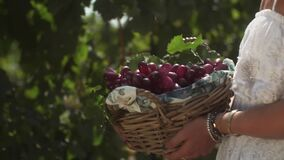 Woman in white dress holding wicked basket with grape plants at vinery. Woman in white dress holding wicked basket with red grape berries at vinery on summer stock footage