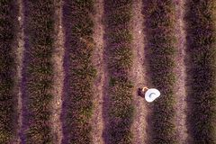 Lavender field summer Stock Photography