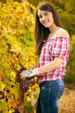 Woman winegrower. Picking grapes at harvest time Royalty Free Stock Photography