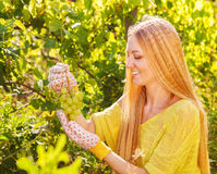 Woman winegrower picking grapes at harvest time Royalty Free Stock Images