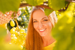 Woman winegrower picking grapes at harvest time. In the vineyard Royalty Free Stock Photo