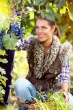 Woman winegrower picking grapes at harvest time. In the vineyard Royalty Free Stock Images