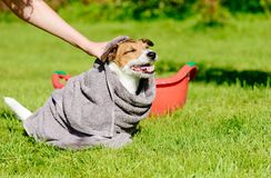 Woman wipes dog head with towel after washing Stock Images