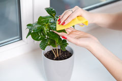 Woman wiping cloth house plant Royalty Free Stock Images