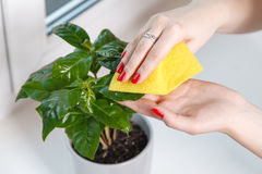 Woman wiping cloth house plant Royalty Free Stock Photo