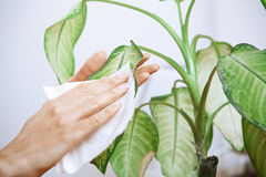 Woman wiping leaves of a plant Royalty Free Stock Image