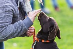 Woman With A Young Labrador Dog On A Dog Training Field Royalty Free Stock Photos