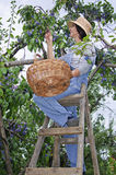 Woman on wooden stair picking plums Royalty Free Stock Photography