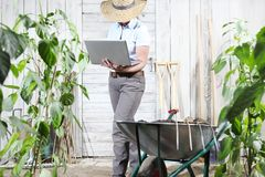 Woman work in vegetable garden with computer, sweet peppers plan stock photo
