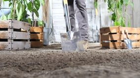 Woman work in vegetable garden digging spring soil with shovel, near wooden boxes full sweet pepper plants. Woman work in vegetable garden digging spring soil stock video