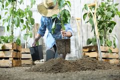 Woman work in the vegetable garden with hands repot and planting a young plant on soil, take care for plant growth. Healthy organic food produce concept royalty free stock photos