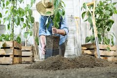 Woman work in the vegetable garden with hands repot and planting a young plant on soil, take care for plant growth, healthy stock photography