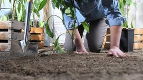 Woman work in vegetable garden place sweet pepper plant from the pot in the ground so that it can grow, near wooden boxes full of. Plants stock video footage