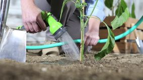 Woman work in vegetable garden water the sweet pepper plant with garden hose so that it can grow, near wooden boxes of plants. Woman work in vegetable garden stock footage