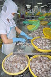 A woman worker is classifying octopus for exporting in a seafood processing factory Stock Photos