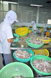 A woman worker is classifying octopus for exporting in a seafood processing factory Stock Images
