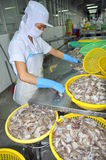 A woman worker is classifying octopus for exporting in a seafood processing factory Stock Image