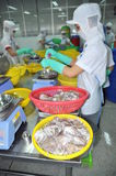 A woman worker is classifying octopus for exporting in a seafood processing factory Stock Photography