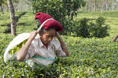 Woman worker picking tea leaves in the tea garden. Indian woman plucking tea leaves in the tea garden Royalty Free Stock Photos