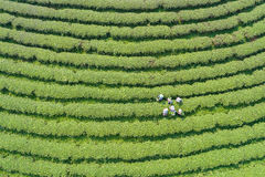 Woman worker picking tea leaves at a tea plantation in north. Of Thailand. Aerial view from flying drone Royalty Free Stock Photography