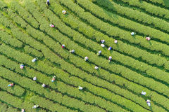 Woman worker picking tea leaves at a tea plantation in north. Of Thailand. Aerial view from flying drone Royalty Free Stock Photos