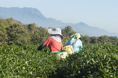 Woman workers harvesting tea leaf at the organic tea farm. In Thailand royalty free stock photo