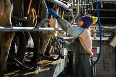 Woman working with Automated mechanized milking equipment. In New Zealand dairy Stock Photo