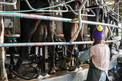 Woman working with Automated mechanized milking equipment. In New Zealand dairy Stock Photography