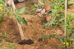 Woman working on a farm. growing vegetables. Tomato bushes and hoe. Digging weeds. Royalty Free Stock Photography