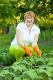 Woman working in field of beans Royalty Free Stock Image