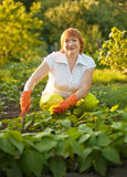 Woman working in field of beans Royalty Free Stock Photo