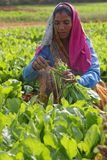 Woman working in the fields around Jaipur Stock Photos