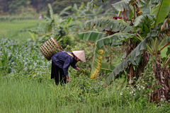 Woman working fields, Sa Pa Valley, Vietnam royalty free stock photos
