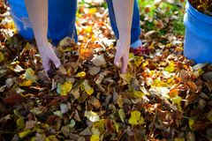 Dispose fall leaves. Woman working in garden and dispose fall leaves Royalty Free Stock Photography