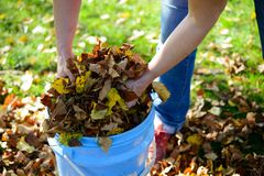 Dispose fall leaves. Woman working in garden and dispose fall leaves Stock Images
