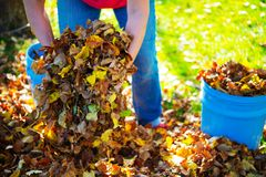 Dispose fall leaves. Woman working in garden and dispose fall leaves Stock Image