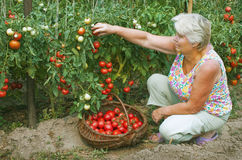 Woman working in her garden, collects tomatoes Royalty Free Stock Photos