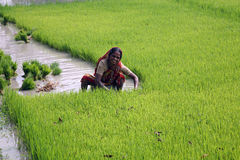 Free Woman Working In Rice Plantation Stock Images - 21438214